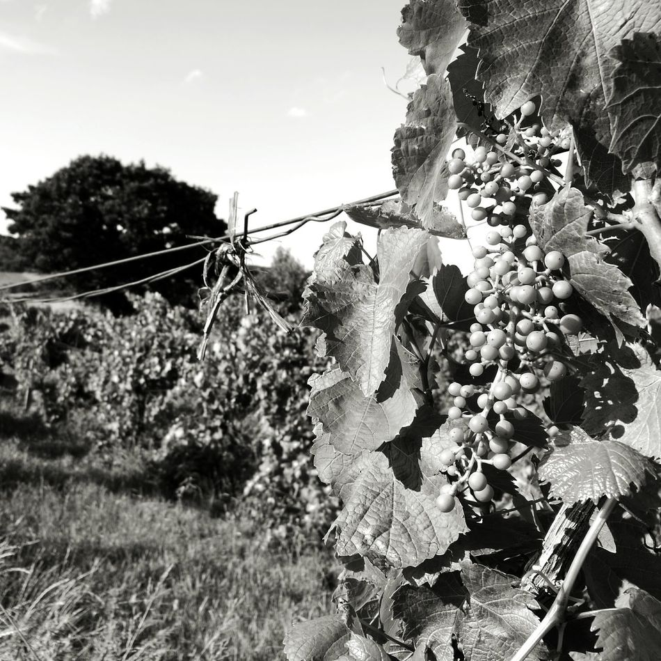 Wine Yards Bunch Of Grapes Tree Outdoors Outdoor Photography No People Black And White Blackandwhite Photography HuaweiP9 Huaweip9monochrome