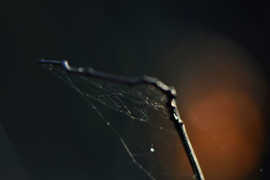 Spider Web Close-up Black Background No People Survival Outdoors Day Non Urban Scene Low Angle View Forest In The Forest Nature_collection Microcosm Macro_collection Macro Freshness Beauty In Nature Fragility Growth Spiderweb Silk Simplicity Minimalism Animal Themes Backlight