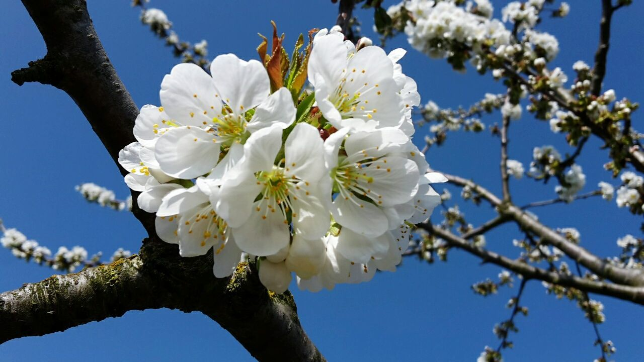 flower, tree, white color, branch, blossom, fragility, growth, beauty in nature, apple blossom, orchard, springtime, apple tree, nature, cherry blossom, day, low angle view, freshness, twig, almond tree, petal, botany, cherry tree, outdoors, clear sky, flower head, magnolia, close-up, no people, blooming, pollen, plum blossom, stamen, sunlight, sky