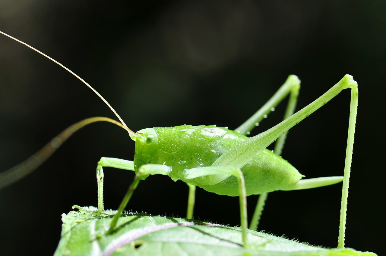 one animal, insect, animals in the wild, animal themes, green color, animal wildlife, close-up, no people, leaf, grasshopper, plant, nature, outdoors, day