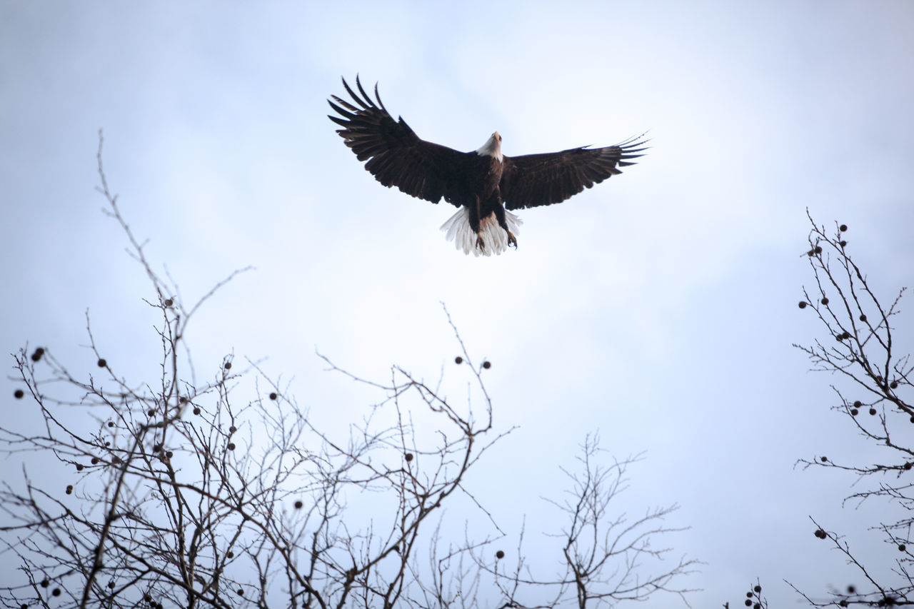 American Animals In The Wild Bald Eagle Bird Bird Of Prey Bird Photography Day Eagle Flying Freedom Illinois No People Outdoors Riverside Spread Wings Symbolism Vulture Wildlife Wildlife Photography