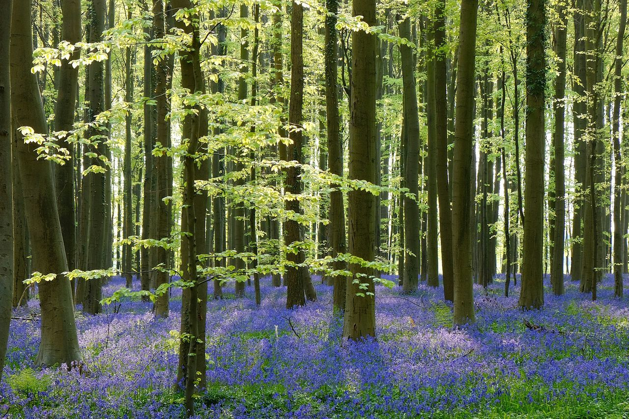 bois de hal Bluebells Wood Forest Spring Purple Flowers Blossom Belgium Hallerbos The Great Outdoors With Adobe