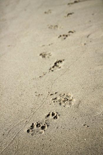 Dog footprints on the beach. Sand Beach Nature Animal Track Track - Imprint Paw Print Dog Footprint Cha Am Petchburi Thailand