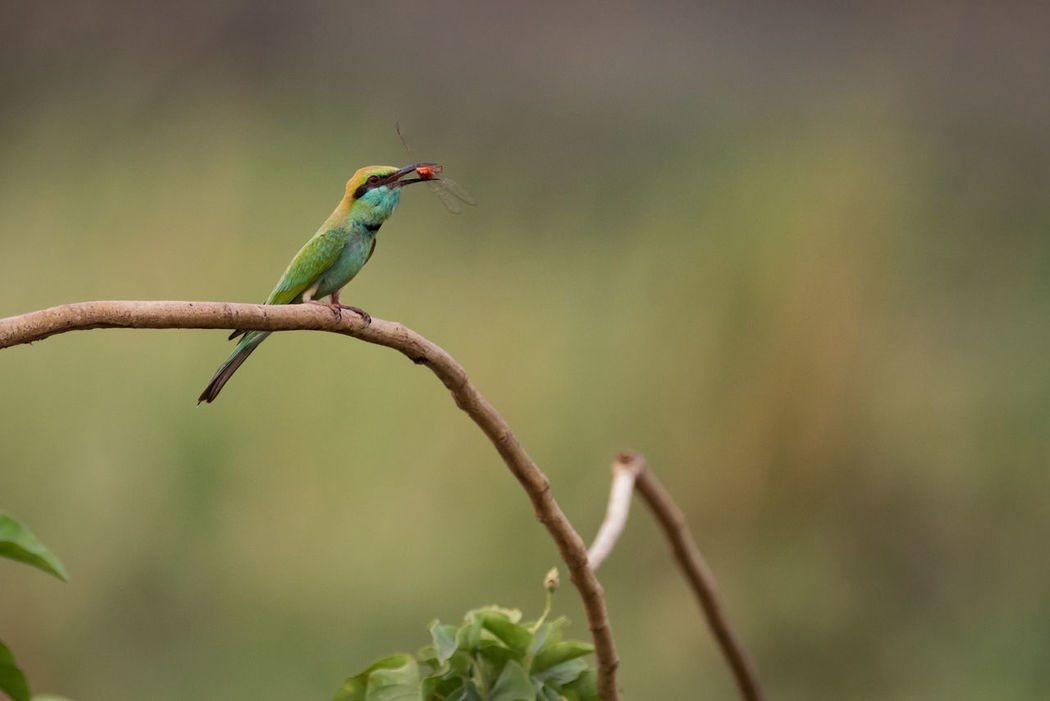 Animal Themes Animal Wildlife Animals In The Wild Beauty In Nature Bee-eater Bird Close-up Day Focus On Foreground Green Bee-eater Green Color Kingfisher Merops Orientalis Nature No People One Animal Outdoors Perching Plant