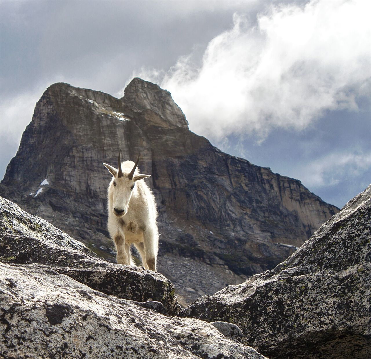 Wildlife Wildlife Photography Valhalla Provincial Park British Columbia Bc Canada Mountain Goats Mountain Range