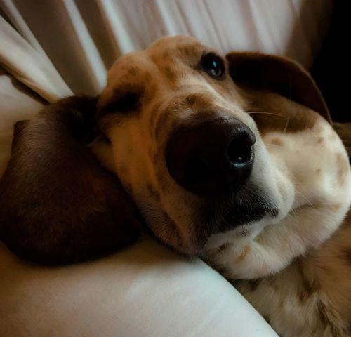 My hound William Dog Domestic Animals Indoors  Close-up Iphonephotography PortraitPhotography Bassetmoments Relaxation Bassethoundadventures Ilovemybassethounds Bassethoundsare Best Rescuedbassethound Pampered Pooch Iphone7