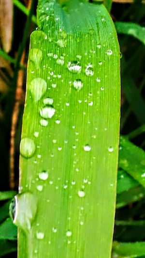 The green green gras of home... Green Color Nature Close-up Drop Freshness Wet Leaf No People Water Plant Grass Day Growth Fragility Outdoors Originalpicture GetbetterwithAlex Wendland Green Color Grass Beauty In Nature