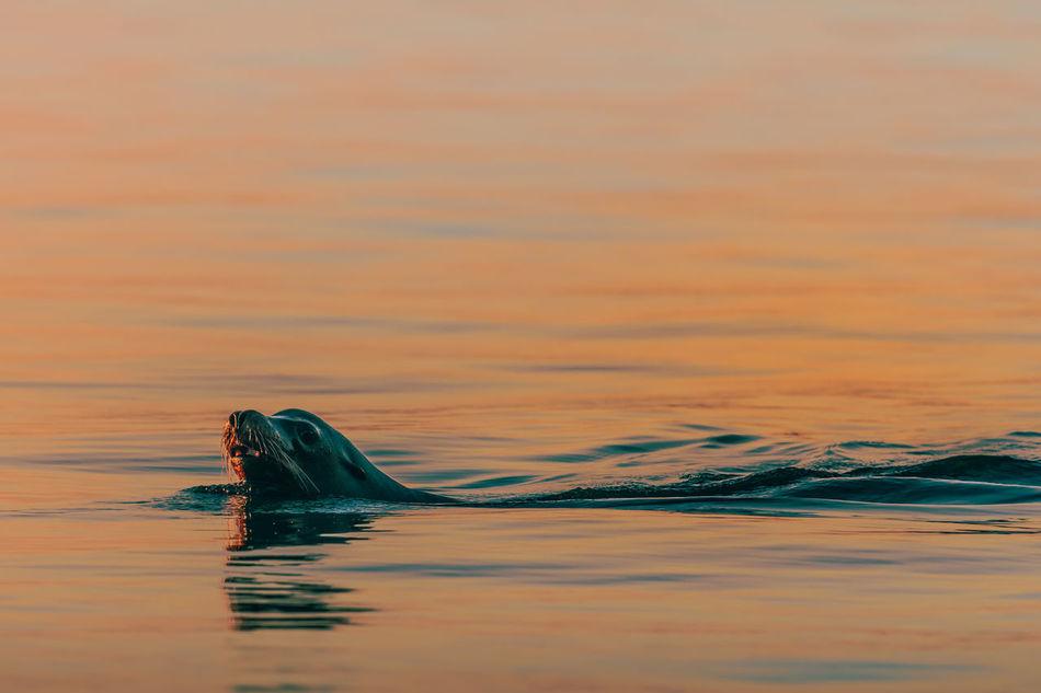 Beautiful stock photos of löwe, water, sunset, waterfront, reflection