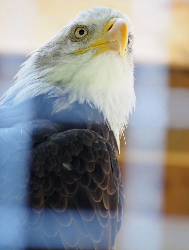 Bald Eagle Bird In Captivity Bird Of Prey Eagle Freedom Majestic National Centre For Birds Of Prey Nature