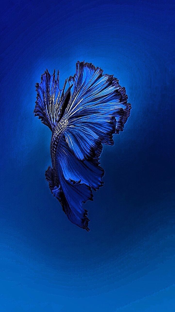 blue, beauty in nature, one animal, fragility, nature, colored background, studio shot, no people, flower, animal themes, underwater, sea life, flower head, water, day, close-up, outdoors, undersea