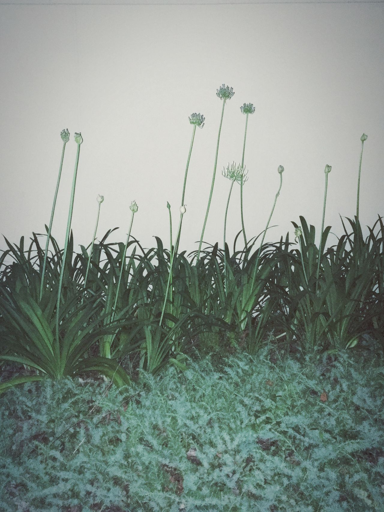 Growth Grass Plant Nature Green Color Outdoors No People Day Beauty In Nature Landscape Snapshot IPhoneography Light And Shadow Getting Inspired Quiet Moments Night Nightphotography Cityscape