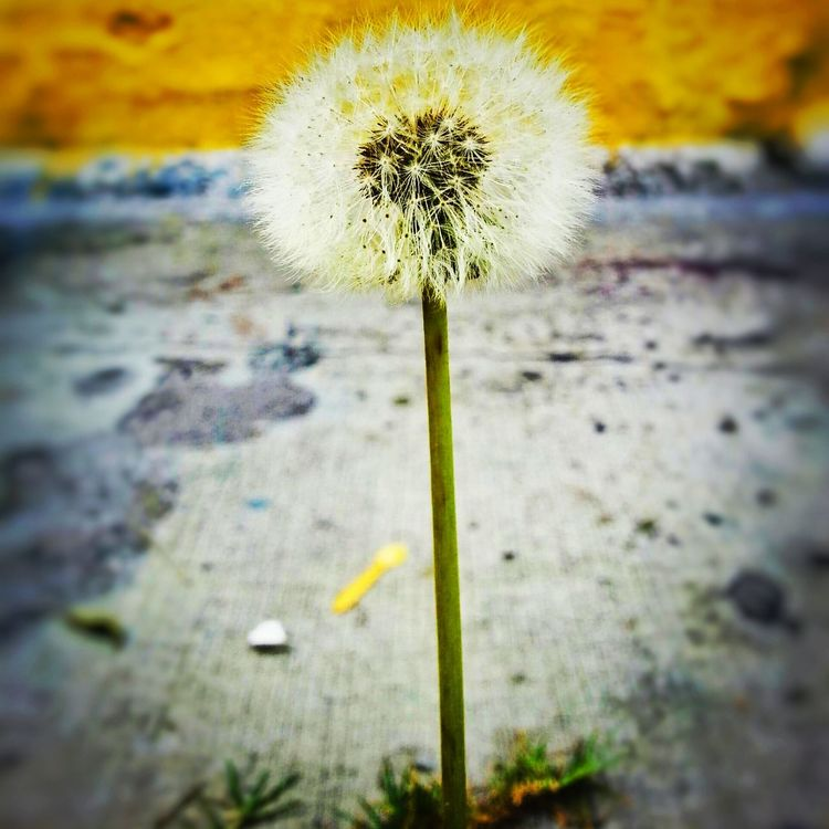 Flor de pavimento Flower Fragility Nature Walking Around City Urban EyeEm Best Shots Eye4photography  Eye4photography  Plant Urban Scene City Life FotoDelDia