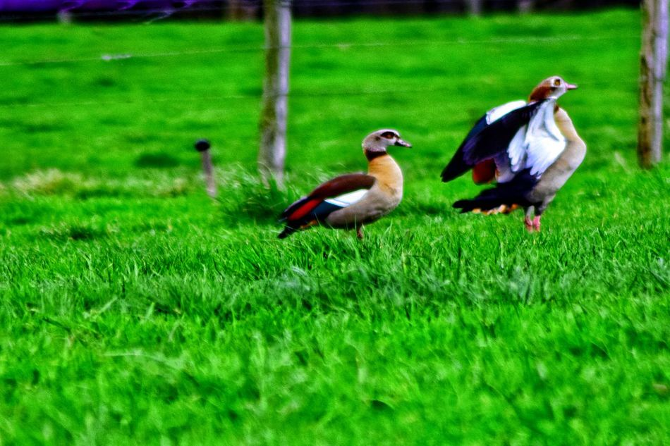 The Purist (no Edit, No Filter) Alopochen Aegyptiaca Alopochen Aegyptiacus Bird Animal Themes Grass Animals In The Wild Field Green Color Nature Outdoors Day No People Perching Beauty In Nature Close-up EyeEm Nature Lover I Love Nature Nature As Art Art In Nature Beauty In Nature Nature Animals In The Wild Green Color Grass