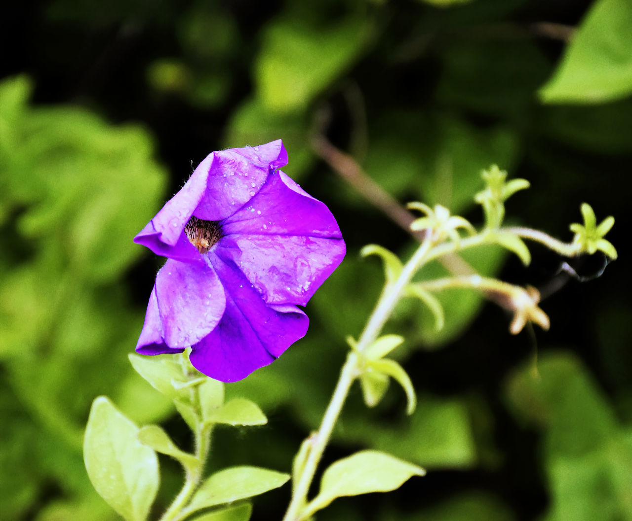 flower, fragility, petal, beauty in nature, nature, plant, growth, flower head, purple, freshness, no people, day, focus on foreground, outdoors, leaf, blooming, close-up, petunia