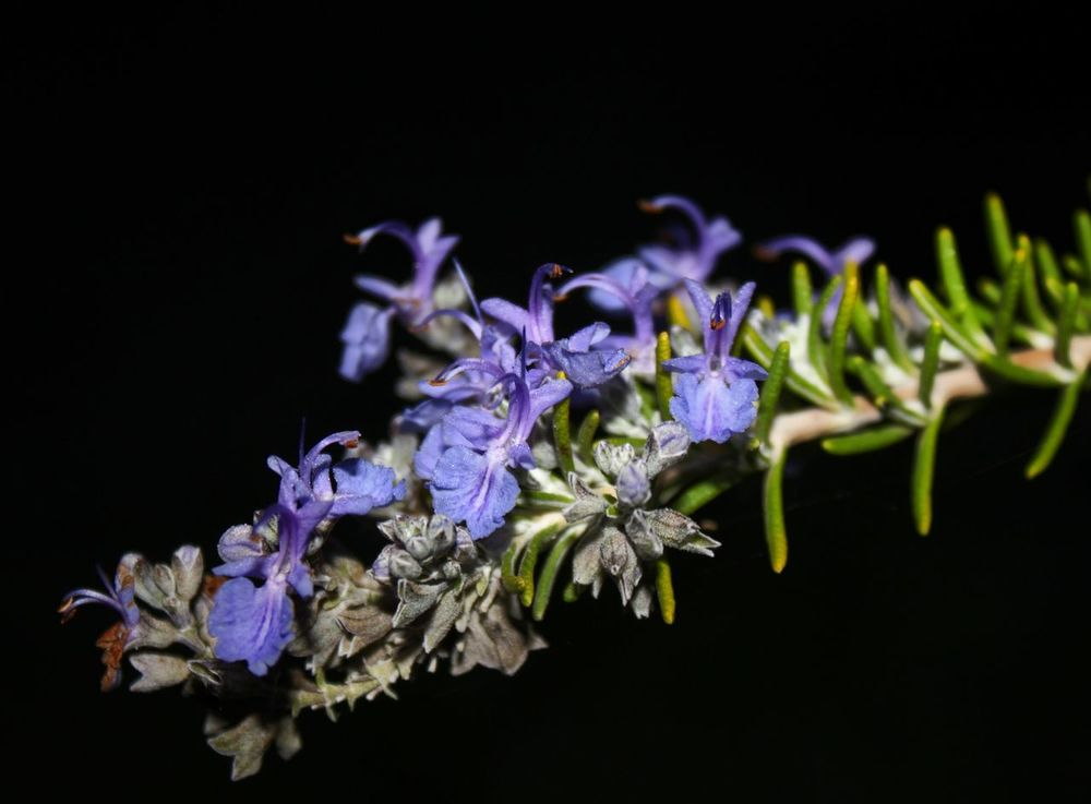 Flower Freshness Outdoors Black Background Petal Purple Plant Growth Beauty In Nature Sicily Autumninsicily Plant Aromatic Plants, Rosmarino Rosmarin Nightphotography Nightshot Tree Green Color Growth Greenleaves Agriculture Autumn
