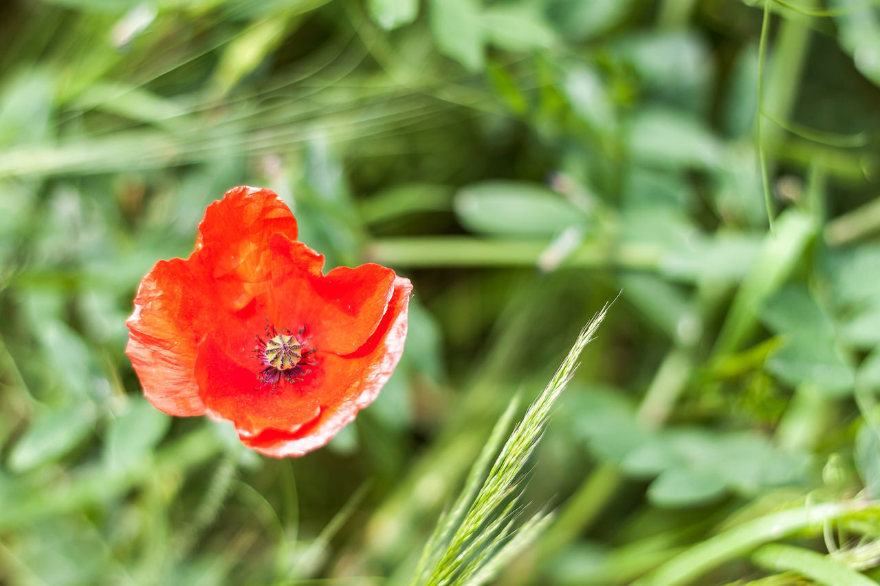 Beauty In Nature Close-up Day Flower Flower Head Fragility Freshness Growth Nature No People Outdoors Plant Poppy Poppy Flowers Red