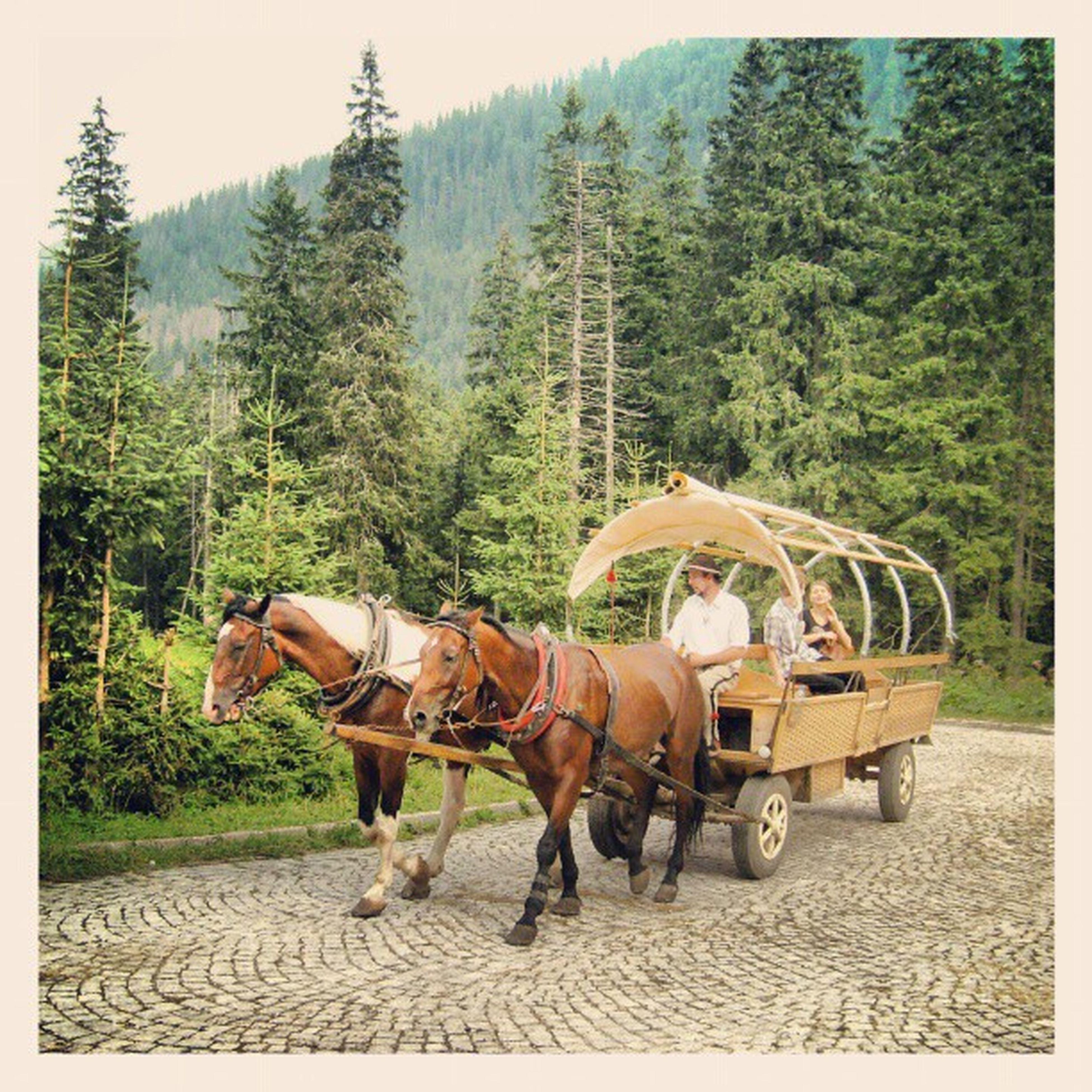 horse, tree, transportation, working animal, mode of transport, men, domestic animals, land vehicle, lifestyles, full length, riding, mammal, leisure activity, animal themes, livestock, day, horse cart, person