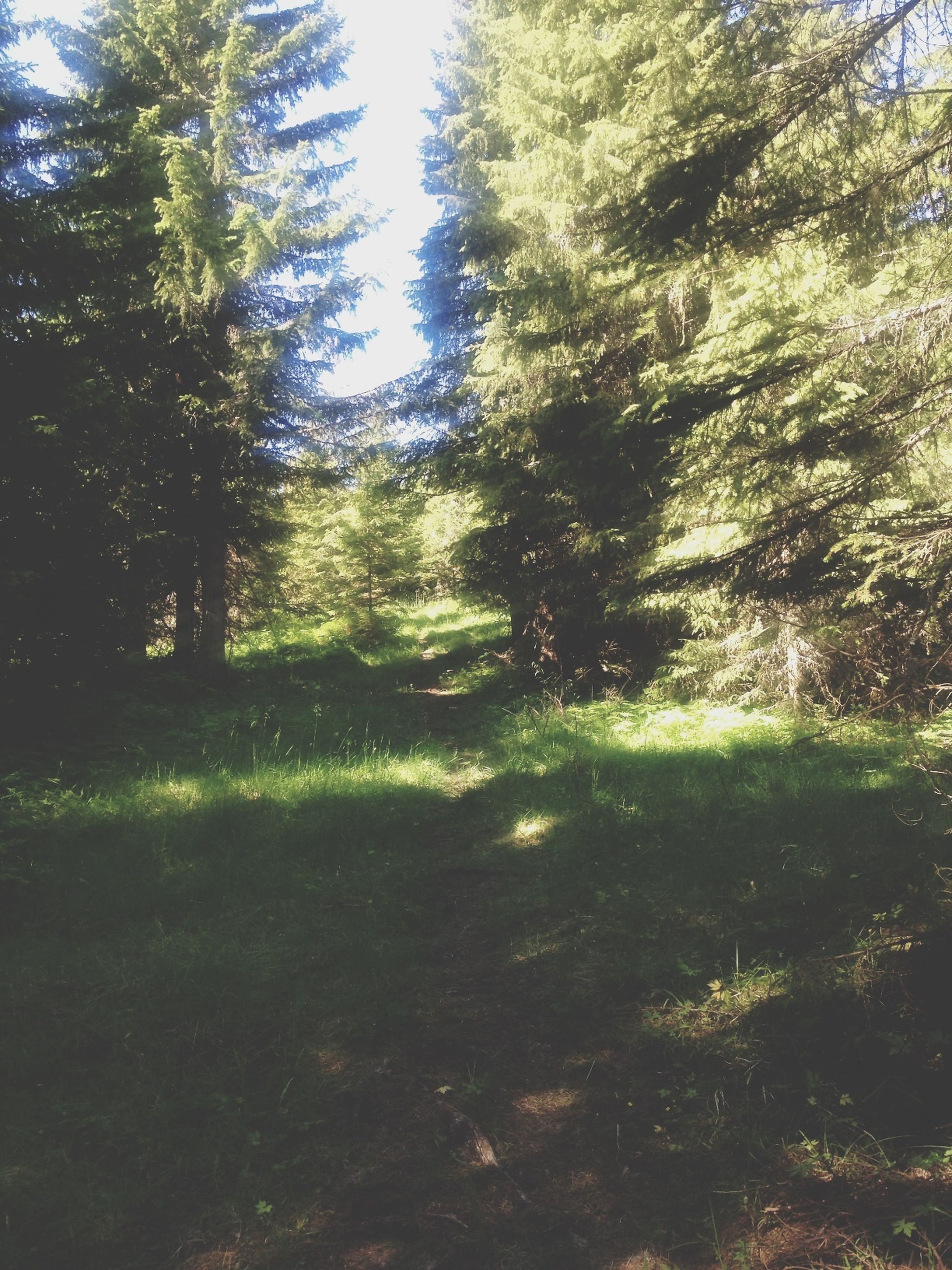 tree, tranquility, growth, tranquil scene, green color, nature, grass, beauty in nature, sunlight, scenics, forest, shadow, branch, day, landscape, the way forward, field, outdoors, non-urban scene, tree trunk