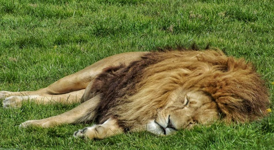 Took this lovely picture at a wildlife park of a sleeping lion and I've got loads more to come Sleeping Lion Sleeping Cat Big Cat Wildlife Collection Wildlife Photography EyeEm Masterclass Fujifilm HDR See The World Through My Eyes Eye For Photography Hdr_Collection Creative Light And Shadow Color Photography Nature_collection Nature Photography Lion King  Lion Eyeem Wild Life EyeEm Nature Lover Wildlife Photos Wildlife Park Cats Of EyeEm Big Cat. In The Sunshine No Cares  No People