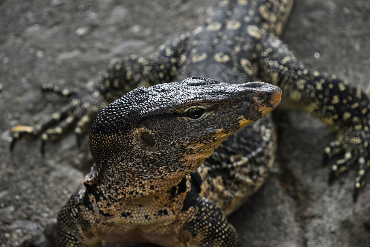 Asian water monitor varan close up Animal Animal Photography Animal_collection Animals Animals In The Wild Asian  Dragon Giant Goanna Lizard Lizards Monitor Reptile Reptiles Varan Water Monitor Nature's Diversities