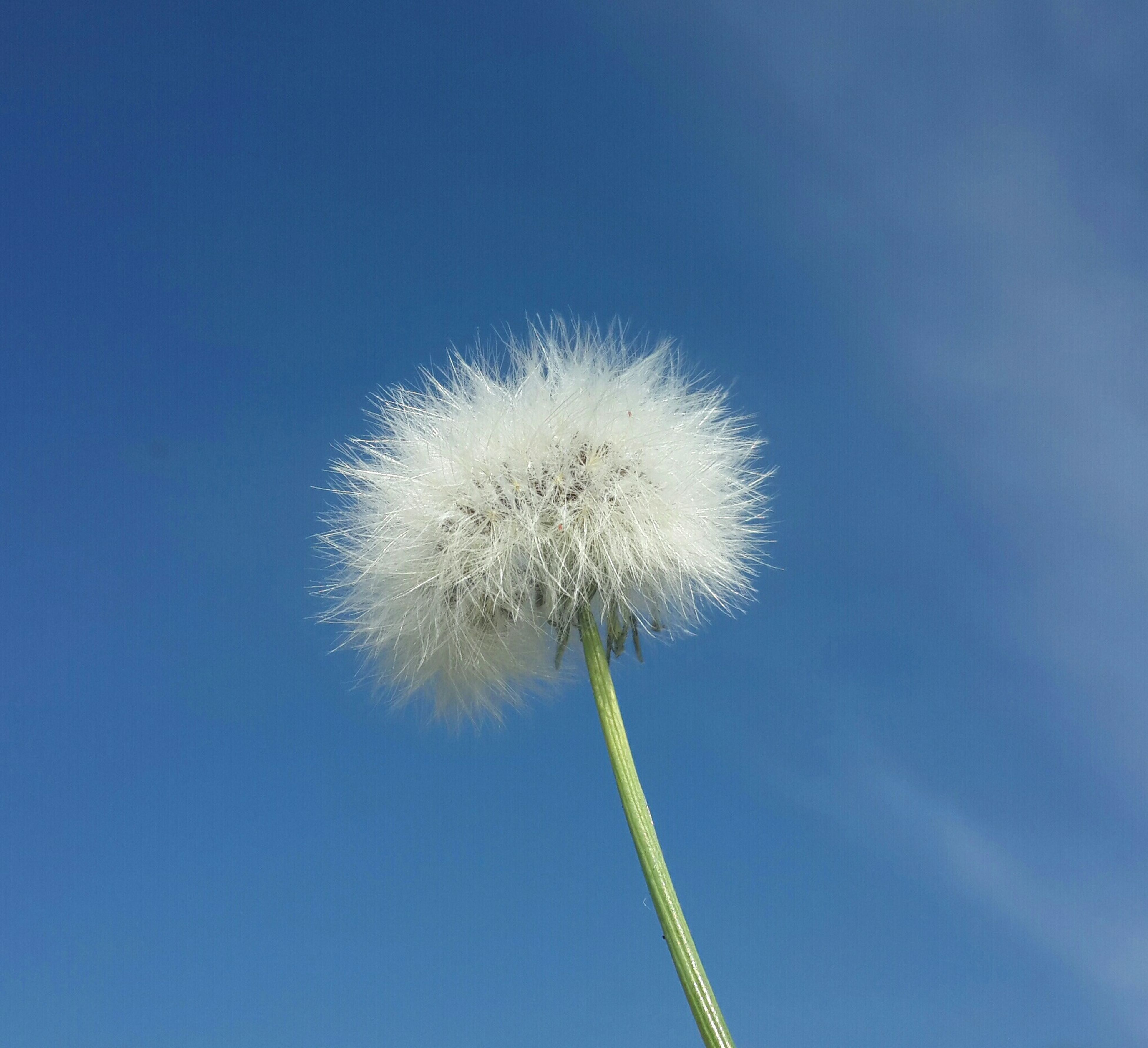 dandelion, flower, fragility, stem, growth, low angle view, flower head, freshness, nature, single flower, beauty in nature, softness, dandelion seed, close-up, blue, clear sky, seed, uncultivated, sky, day