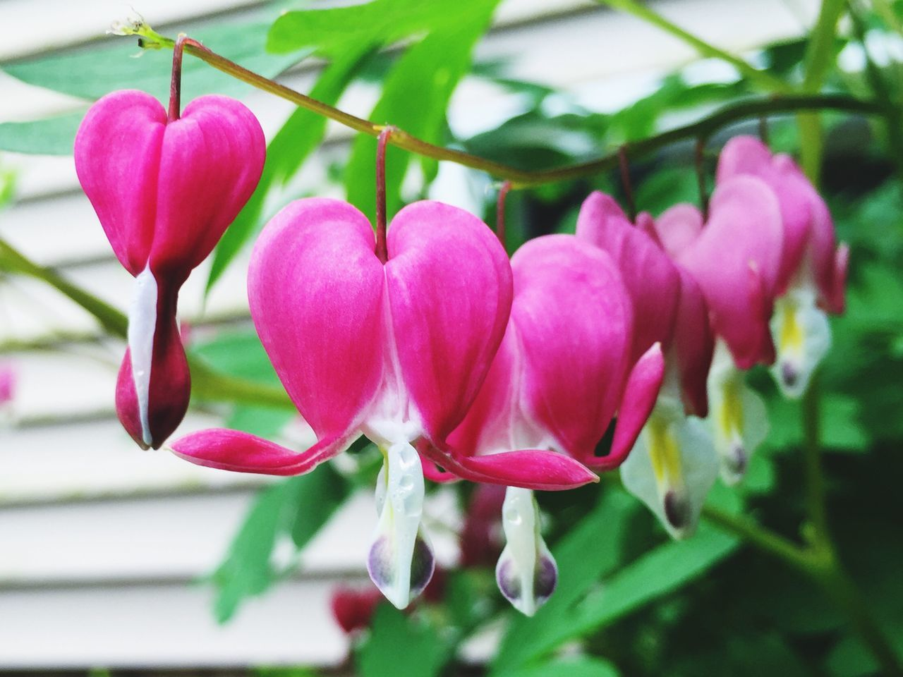 Focus On Foreground Pink Color Freshness Close-up Day Growth No People Outdoors Beauty In Nature Fragility Plant Nature Bleeding Heart