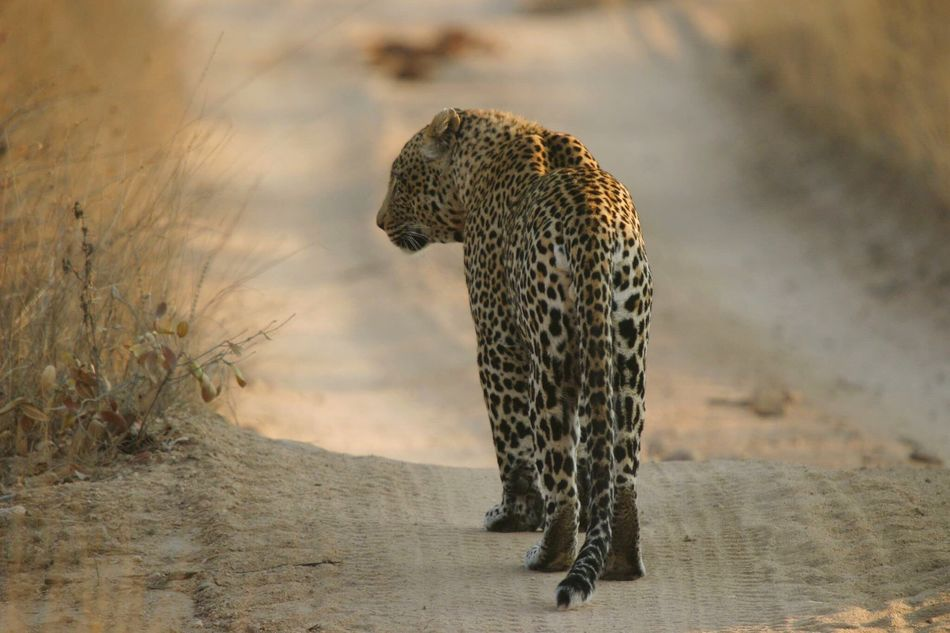 Beautiful stock photos of leopard, Animal Themes, Animal Wildlife, Animals In The Wild, Day