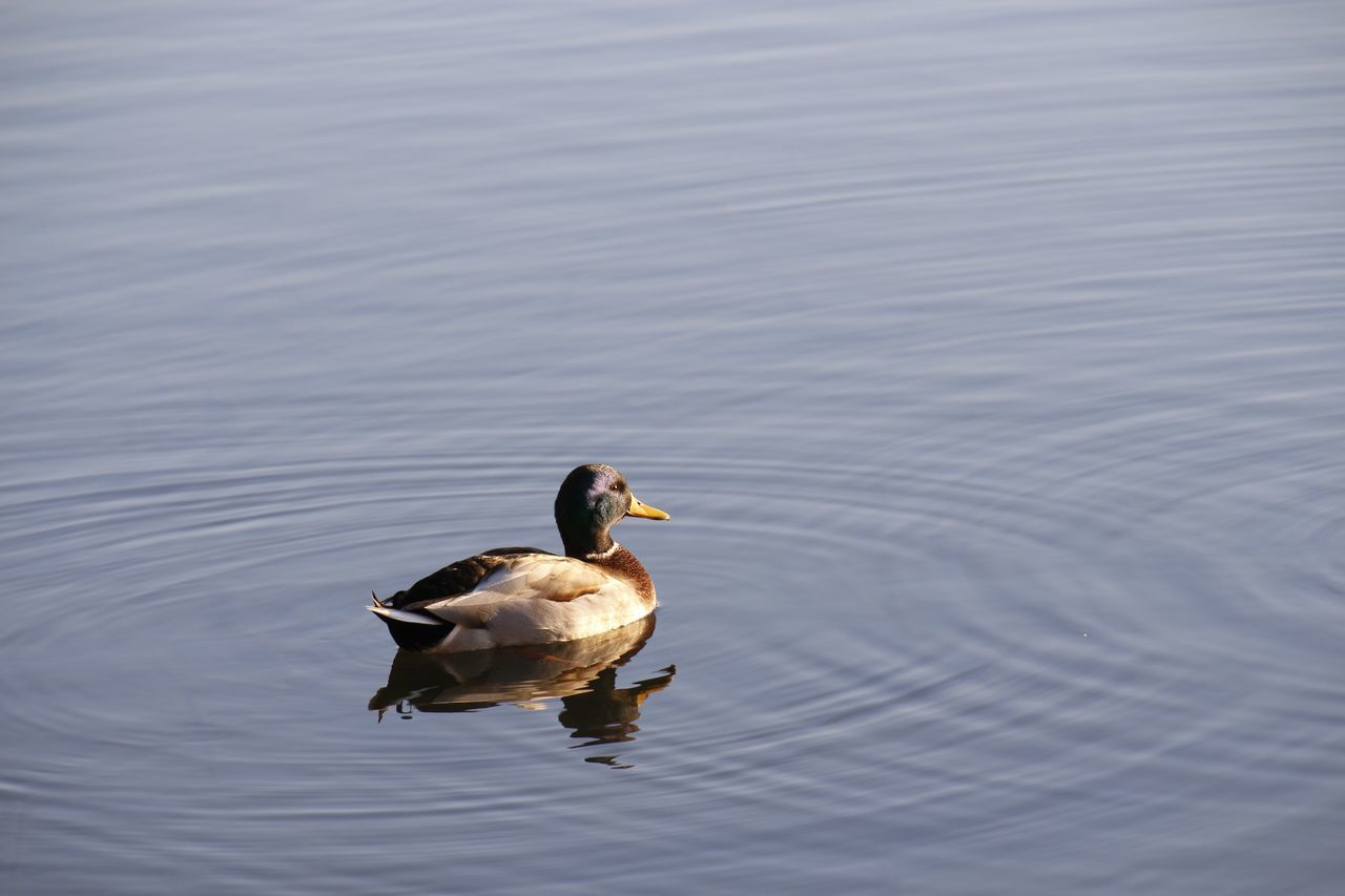 animals in the wild, animal themes, bird, animal wildlife, lake, nature, duck, water bird, swimming, no people, water, waterfront, reflection, one animal, day, outdoors, beauty in nature