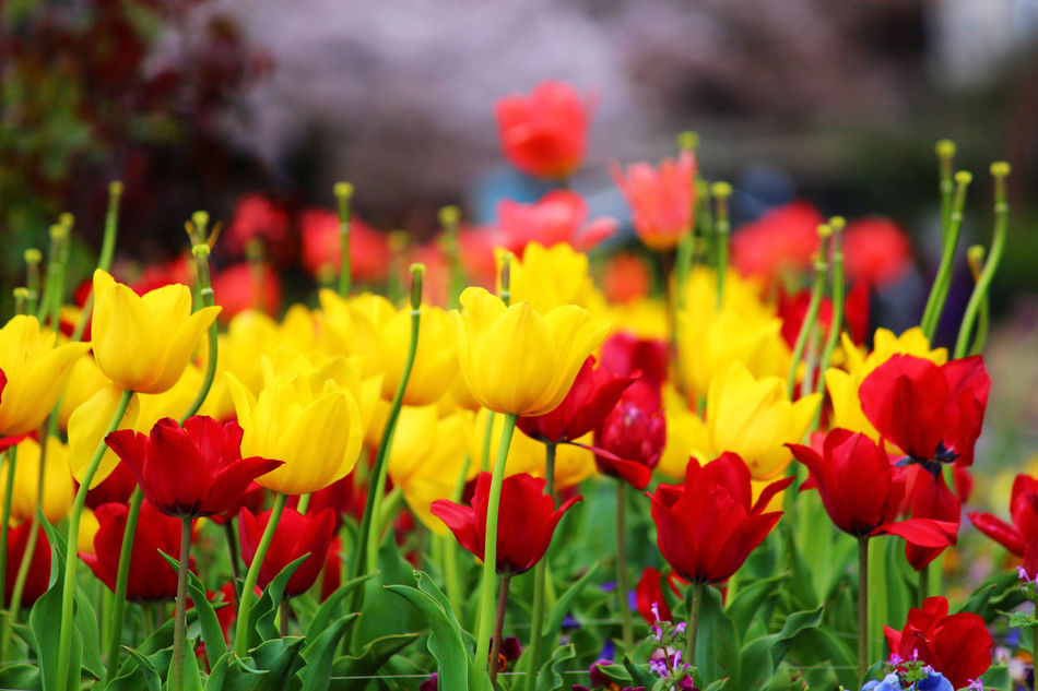 Beauty In Nature Blooming Close-up Day Field Flower Flower Head Fragility Freshness Growth Nature No People Outdoors Petal Plant Red Red Springtime Tulips Tulips Flowers Tulips In The Springtime Tulips, Flowers, Garden Tulips🌷 Vivid Colours  Yellow