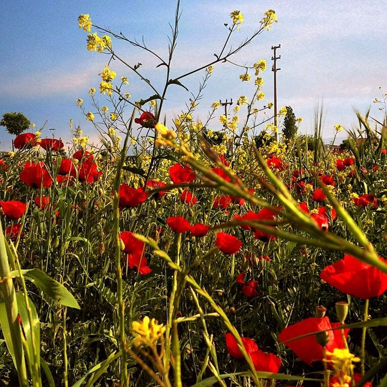 growth, flower, red, poppy, nature, plant, field, beauty in nature, summer, uncultivated, no people, outdoors, blooming, freshness, sky, fragility, day, grass, flower head