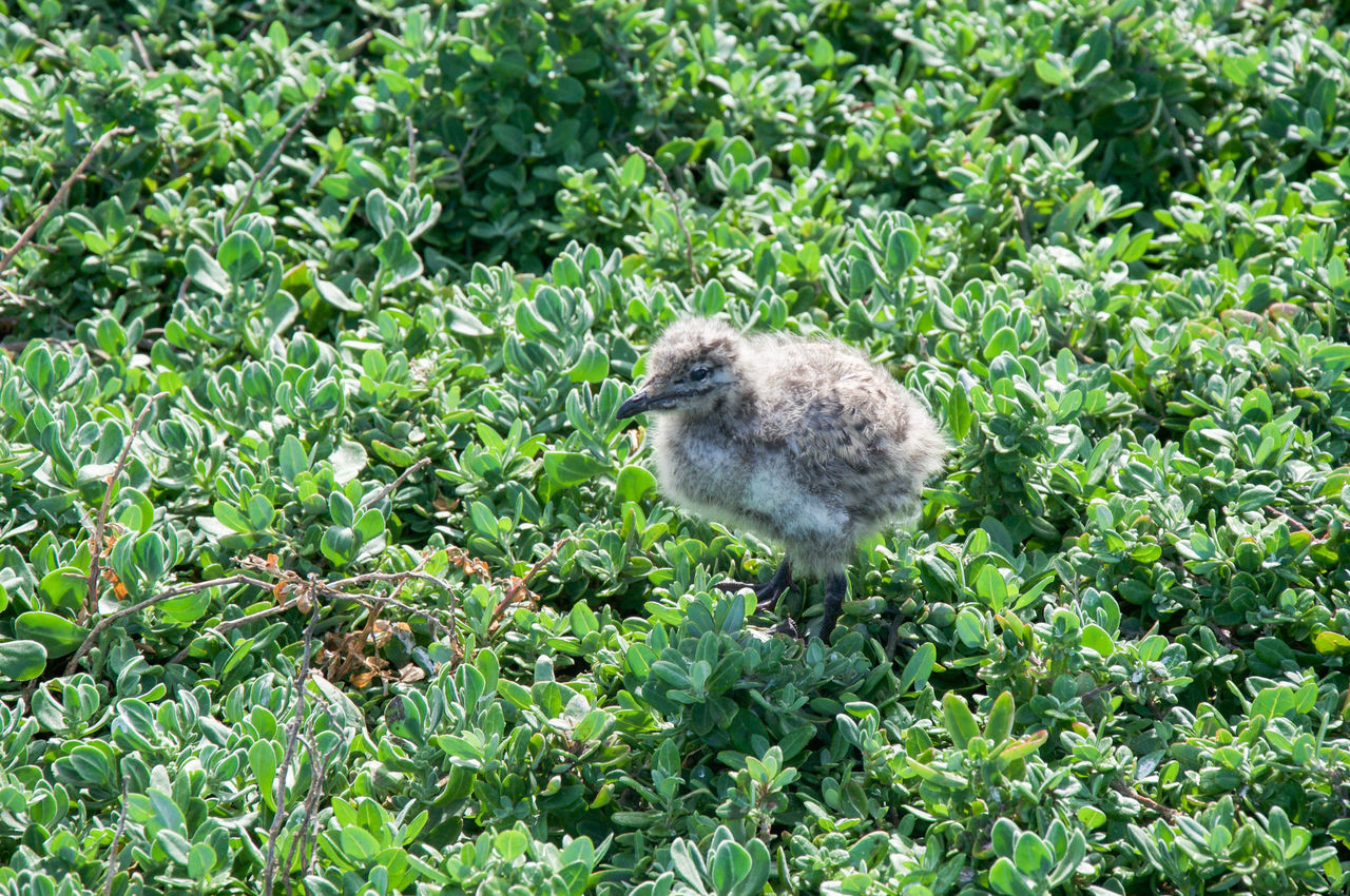Baby sea gull in the lush dunes at Penguin Island in Western Australia. Animal Wildlife Animals In The Wild Australian Avian Baby Bird Coastal Downy Dunes Feathers Green Color Growth Gull Nature Nature Nesting Offspring One Animal Outdoors Penguin Island Plant Remote Sea Gull Western Australia Wildlife