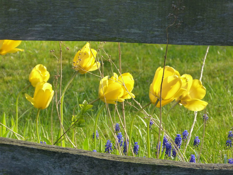 Fence tulp view in spring ... :-) Beauty In Nature Close-up Day Flower Flower Collection Flowers Freshness Grass Growth Nature No People Outdoors Plant Spring Springtime Tulp Tulp - Flower Tulpe Tulpe Photography Tulpen Tulpenblüte Tulpenwunder Tulpes Tulps Yellow