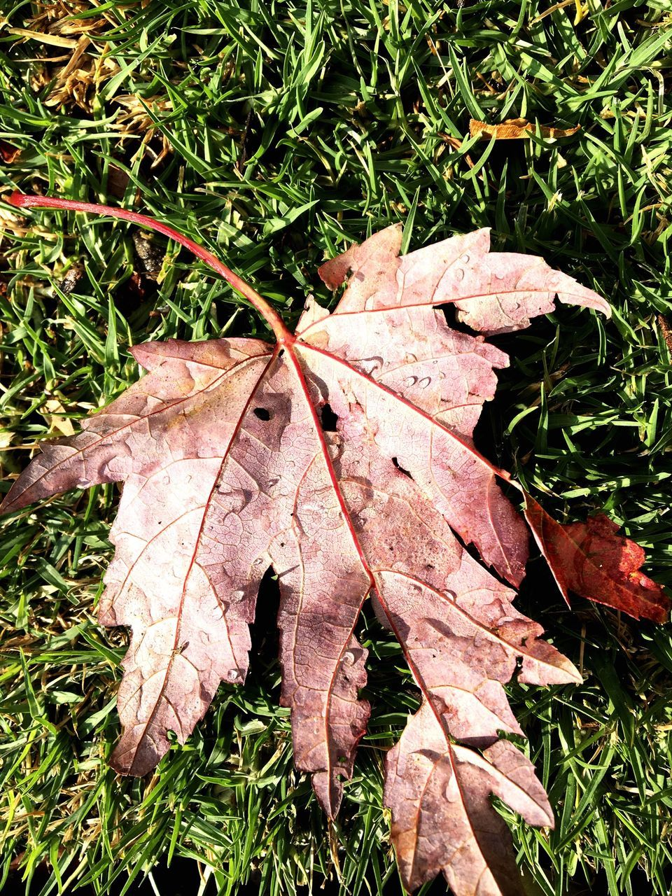 High Angle View Of Dry Maple Leaf On Grass