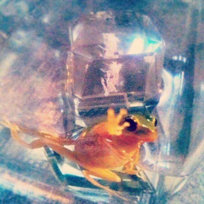 雨蛙 древеснаялягушка Treefrog Arborano 树蛙 Rainette شجرةالضفادع
