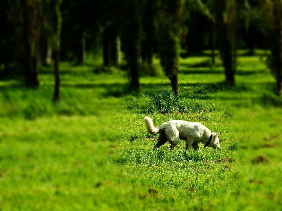 Sankt-Petersburg Russia White Wolf Dog Green Green Green!  Summer2016 Sakharov Park Walking Around Colour Of Life Sankt-peterburg Russia