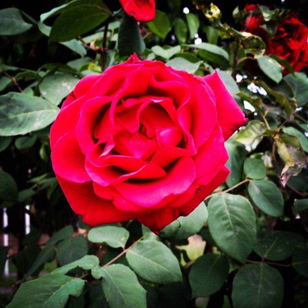 Pretty Stonebacks Life Garden art flower rosa hapiness Ecuador