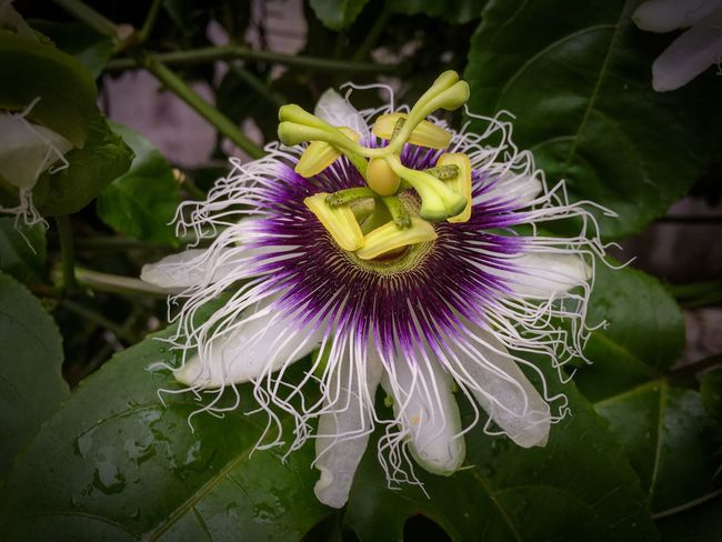 A mais linda Flor Flower Maracujá The Essence Of Summer