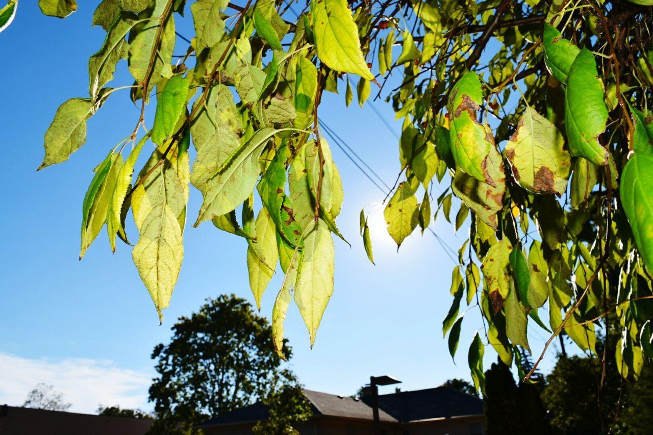 Green Leaves EyeEm Best Shots - Autumn / Fall Beginningofcoloring Sky_collection Eyemphotography Blue Sky Tree_collection  TreePorn Green And Blue