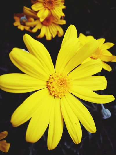 Yellow Margarita Yellow Flower Petal Fragility Nature Beauty In Nature Freshness Close-up Outdoors