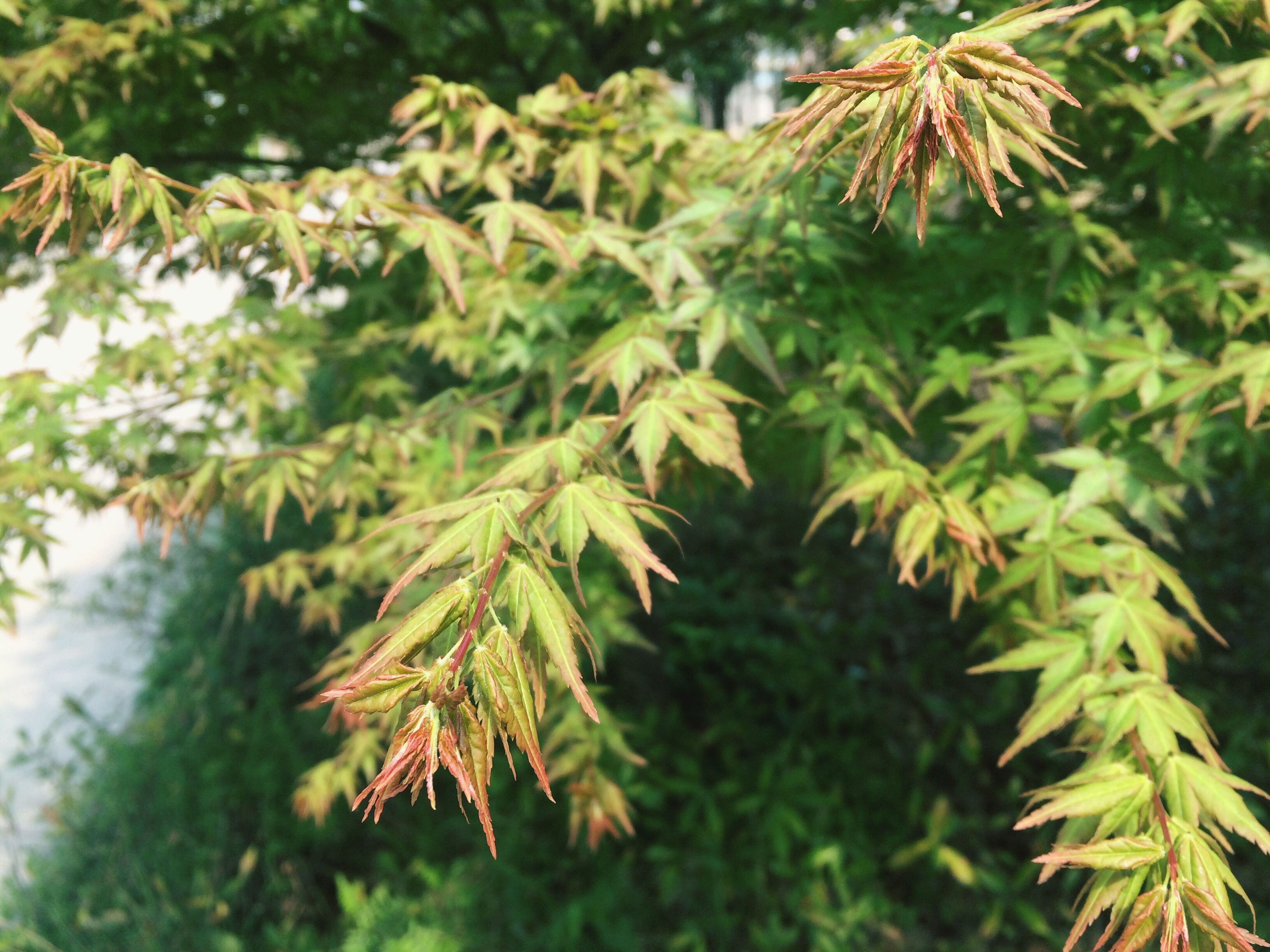 leaf, growth, tree, nature, beauty in nature, green color, plant, tranquility, close-up, focus on foreground, selective focus, leaves, branch, outdoors, day, sunlight, season, no people, growing, autumn