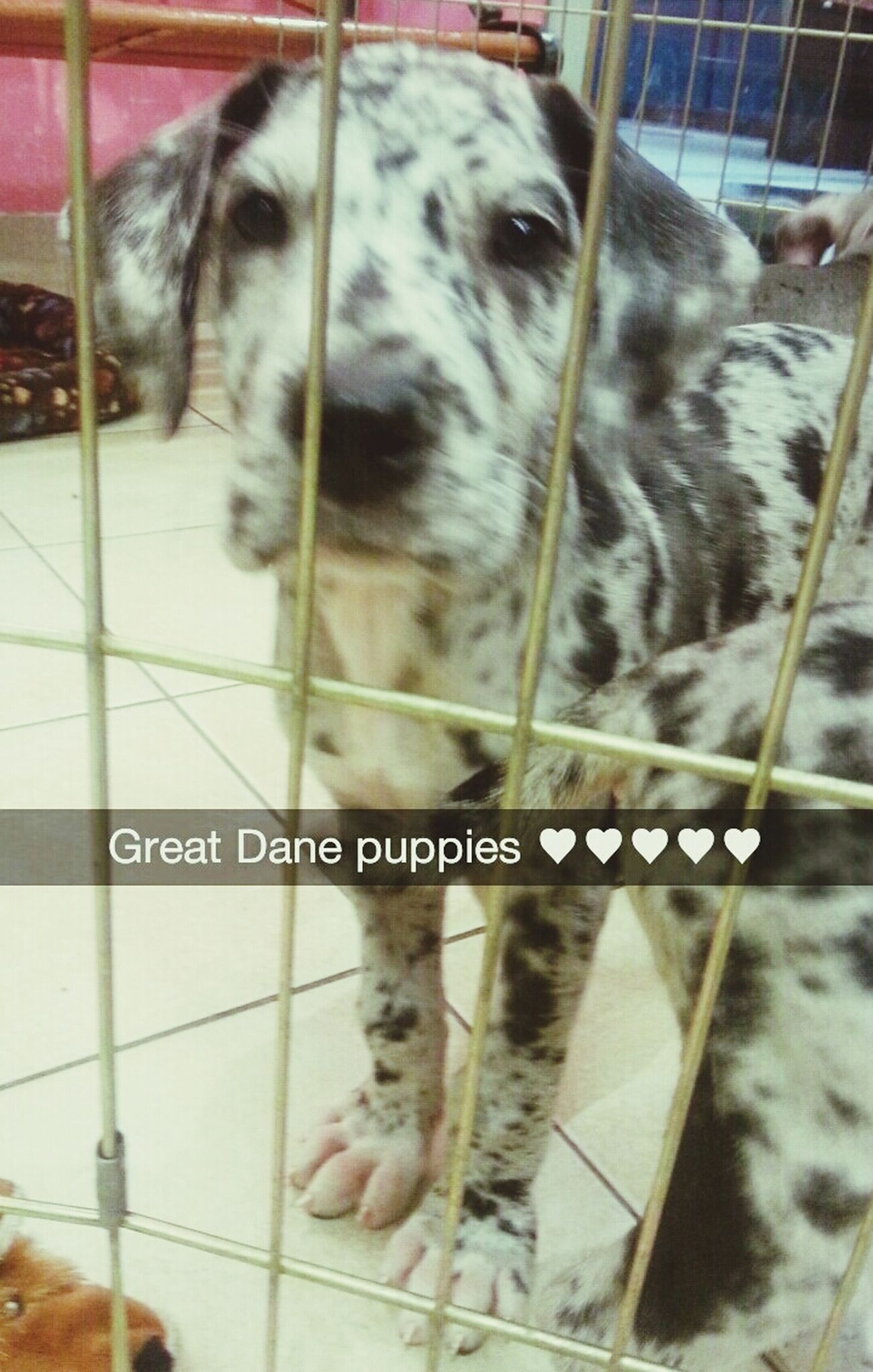 Someone buy me one :( Great Dane Puppy