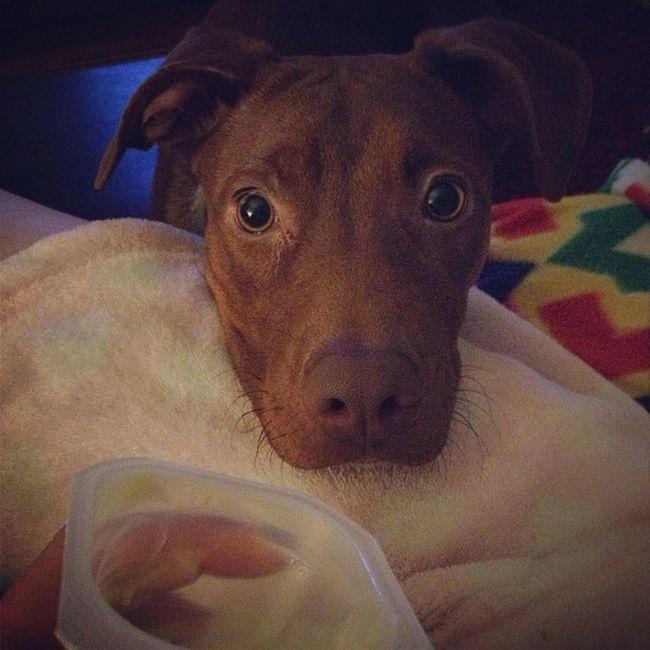 Little beggar. Puppy Pitbull Puppyprobs Pitbullprobs dogstagram