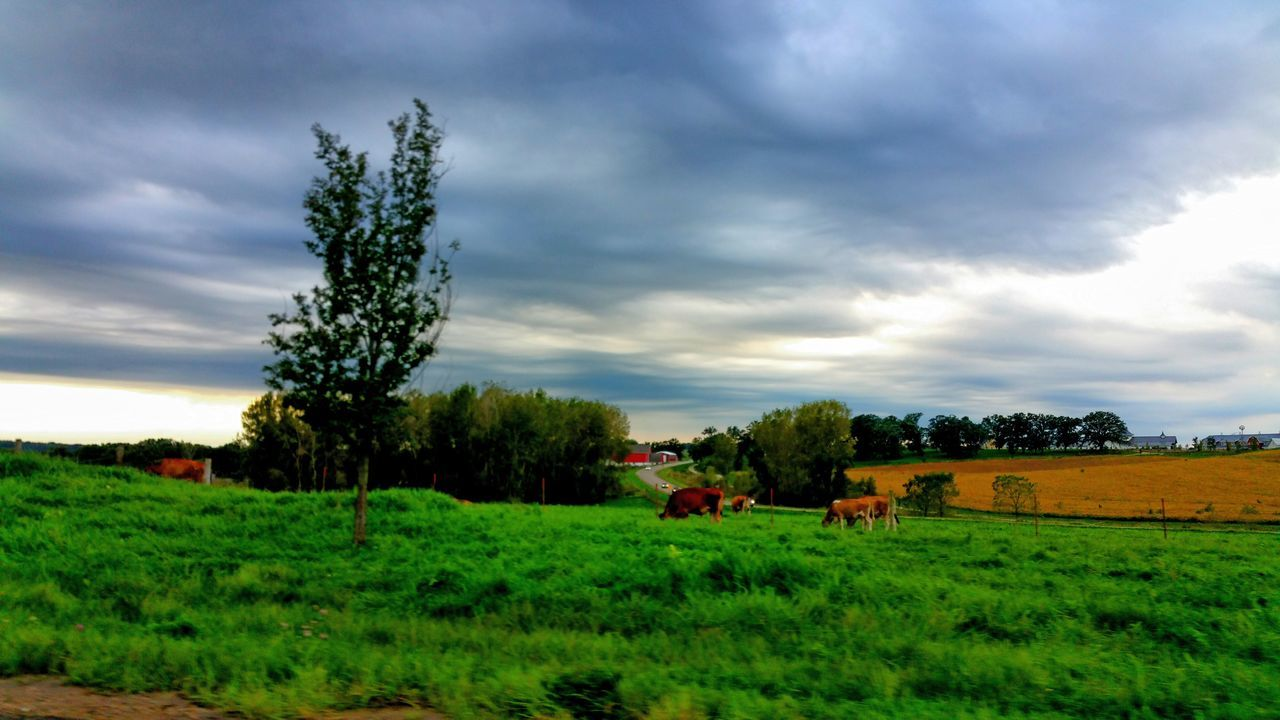 Cows Grazing Bucolic Landscape Grass Tree Green Color Pasture, Paddock, Grassland, Pastureland Countryside Landscape Cloudy Cloud - Sky Tranquility Tranquil Scene Beauty In Nature Farmhouse Nature Check This Out Scenics Power In Nature Dramatic Clouds Rural Scene