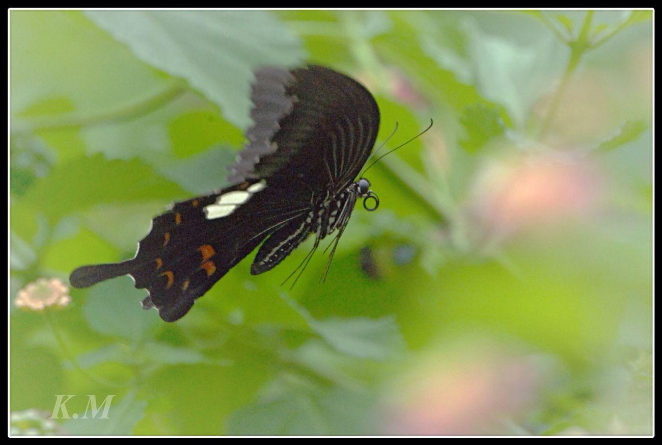 Swallowtail butterfly Tadaa Community Butterfly 勝蝶