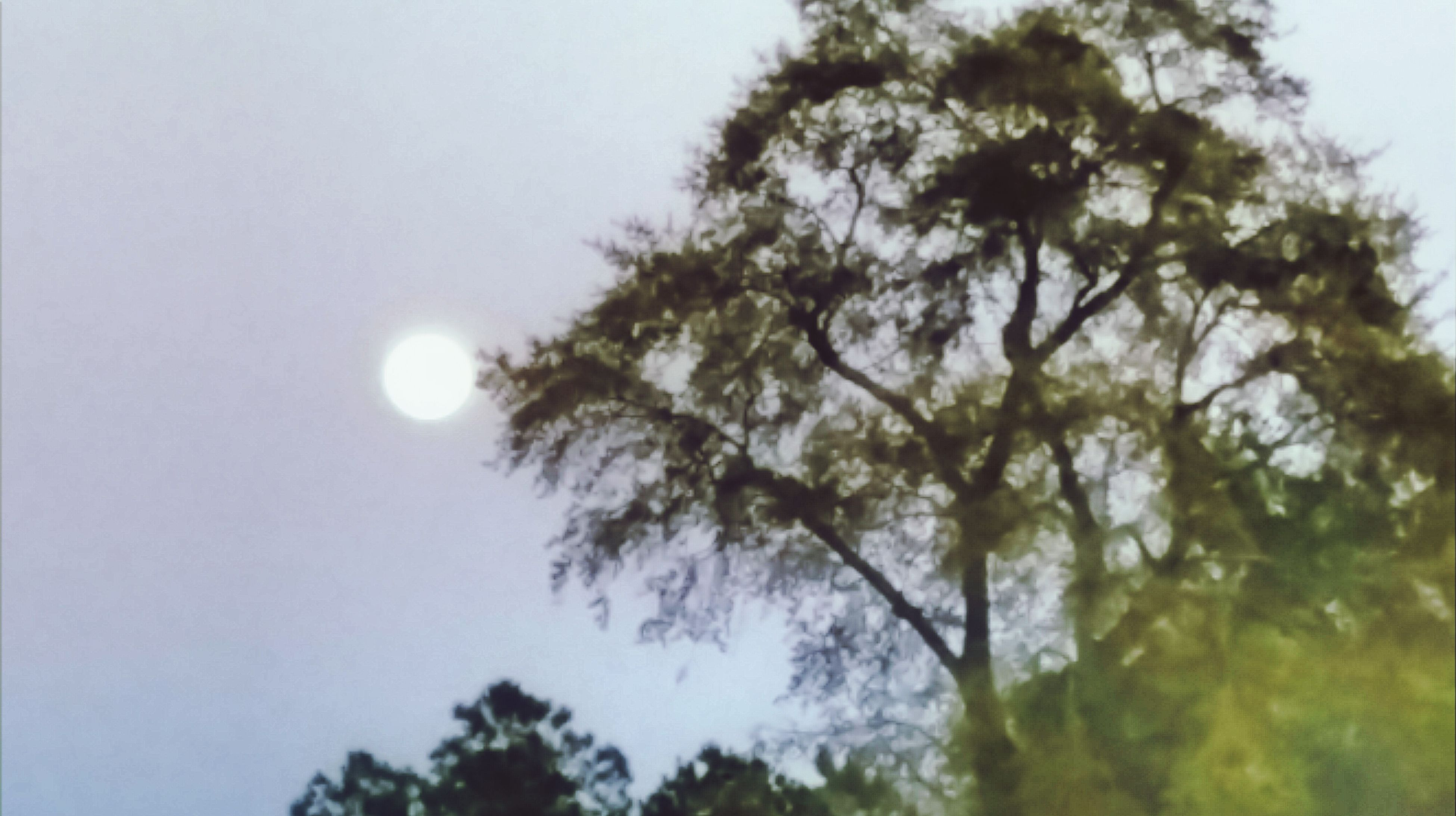 low angle view, tree, sky, beauty in nature, nature, clear sky, tranquility, moon, growth, branch, sun, scenics, tranquil scene, copy space, outdoors, no people, lens flare, day, full moon, idyllic