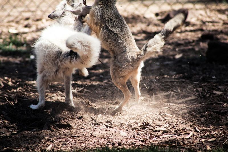 @ Bearizona Animal Themes Animals Fighting Bearizona Close-up Day Field Focus On Foreground Foxes Foxes Fighting Ground Mammal Nature No People Outdoors Selective Focus Sibling Rivalry Young Animal