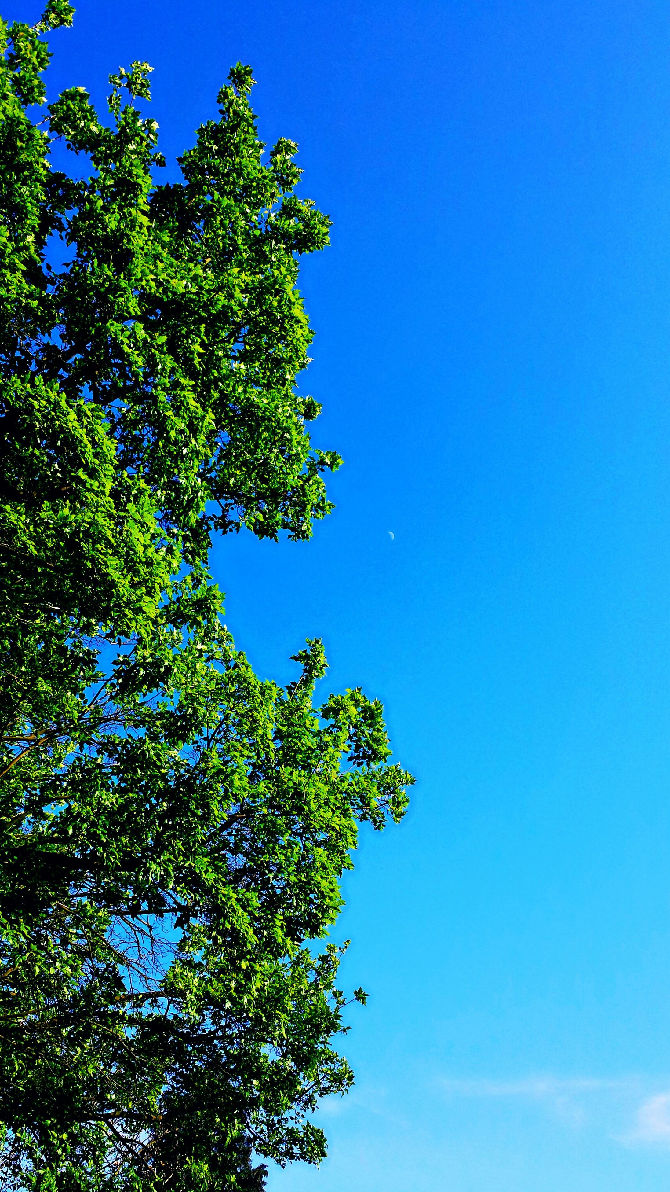 blue, tree, low angle view, clear sky, growth, copy space, green color, high section, beauty in nature, scenics, branch, green, tranquility, nature, day, tranquil scene, treetop, lush foliage, no people