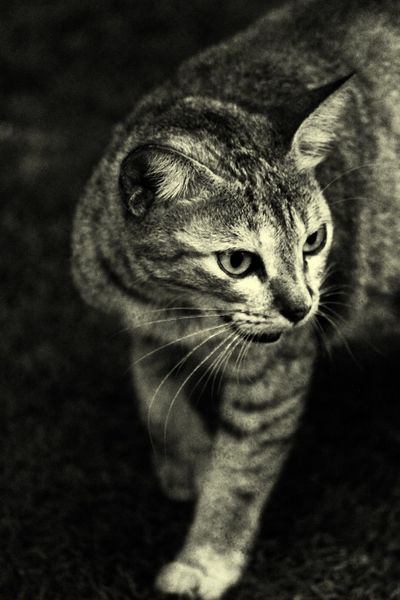 Cat by by attitude😼 Tiger Eyes  Tiger Face Tiger Cat EyeEmNewHere