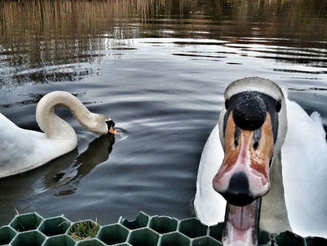 This young swan was not in his best mood..I guess 😁 Swan Animals Swans Water Lake Behavior Angerr Protection Reactions Nature Park Beak