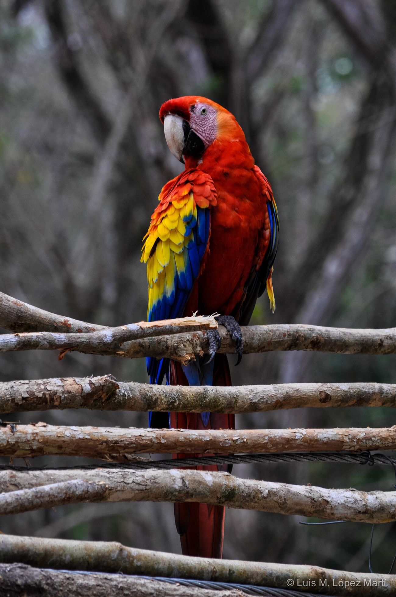 Copán Ruinas Honduras Bird Animal Themes Animals In The Wild Parrot Nature Beauty In Nature Animal Wildlife Light And Shadow Nature Nature Photography Colors Colorful Colour Of Life Colours Life Nikon Nikonphotography Travel Destinations Travel Photography Blue Yellow Red Birds